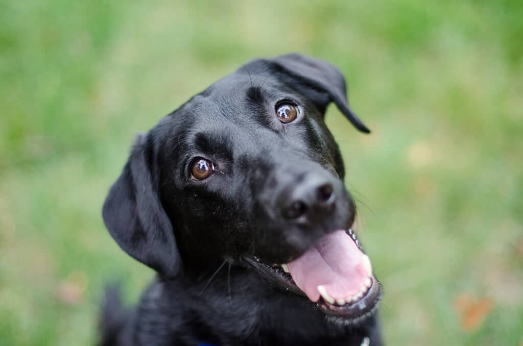black dog with mouth open