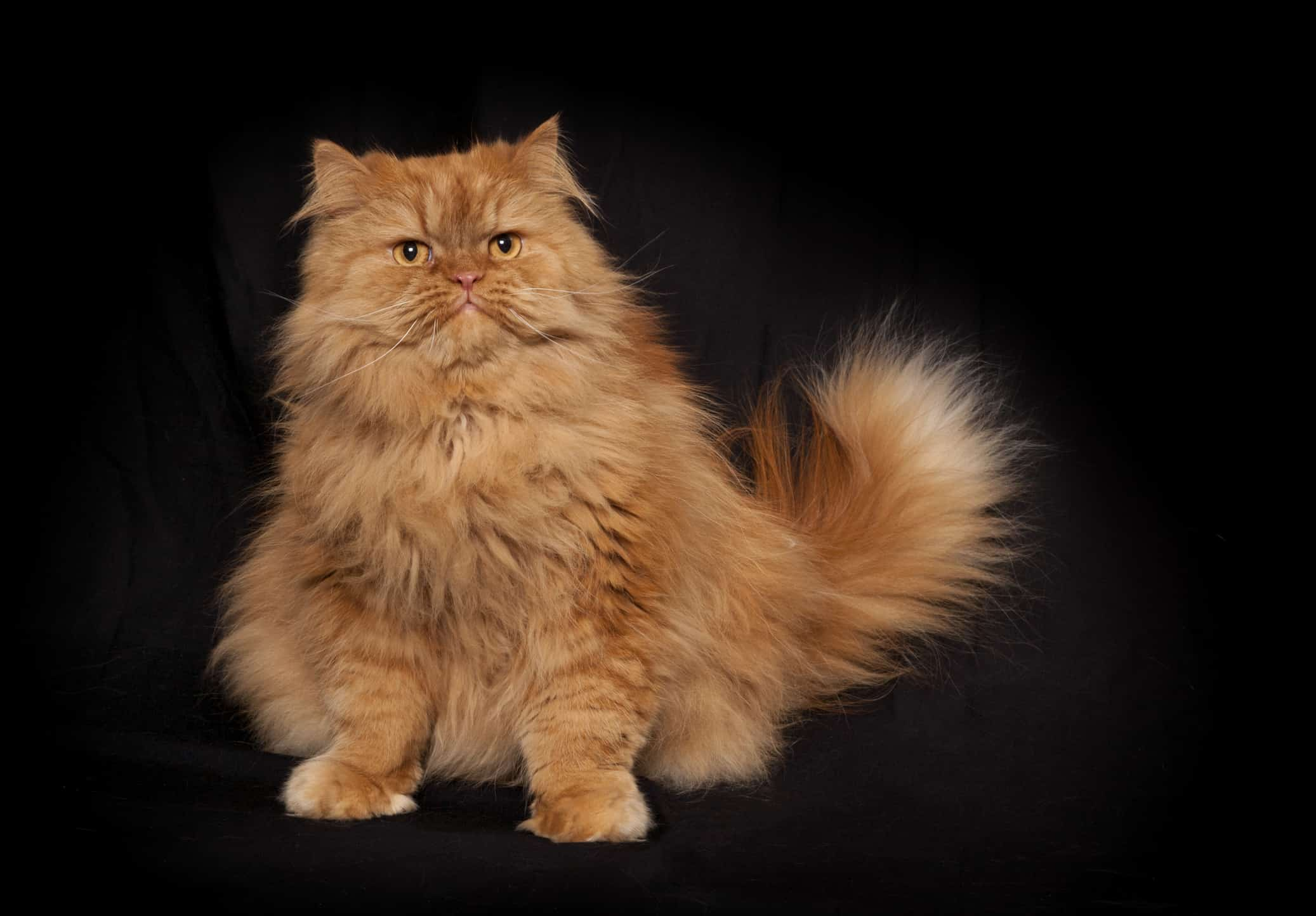 An orange cat that suffers from pet obesity because its owner gives too many treats