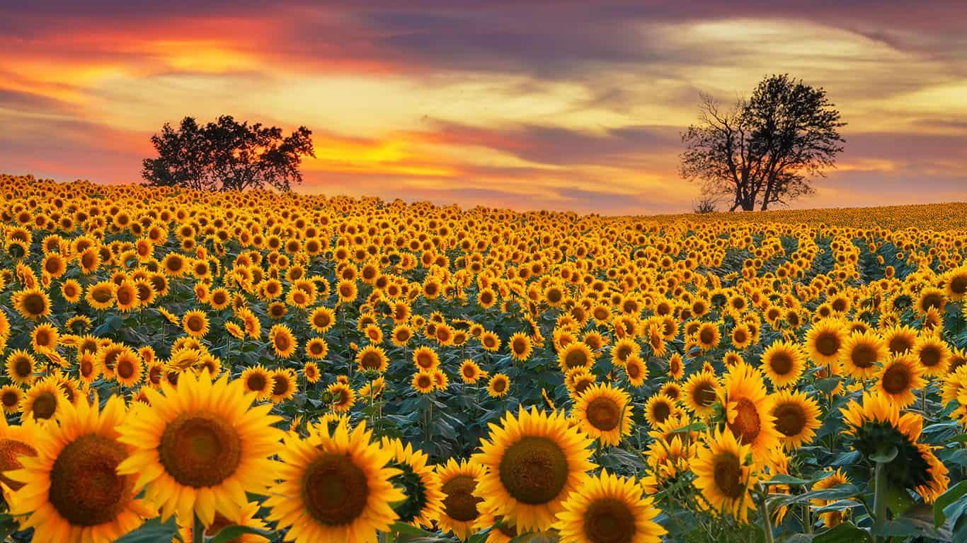 Sunflower sunset in Nebraska