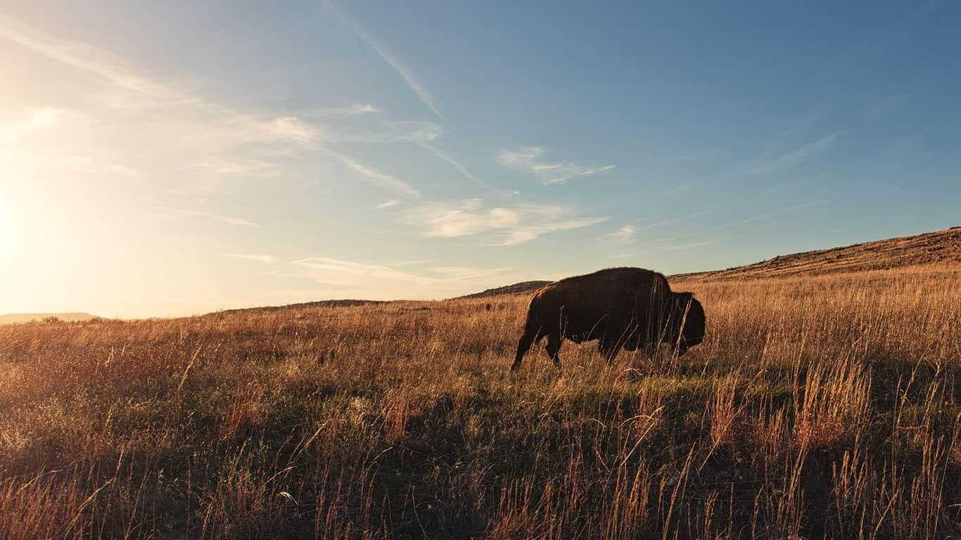 Bison roaming, Oklahoma