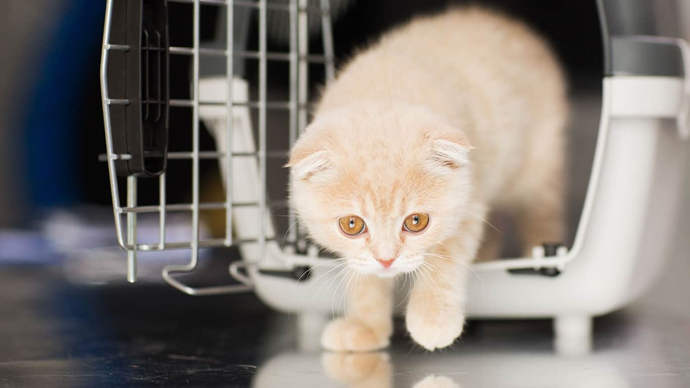 Close up of scottish fold kitten in cat carrier