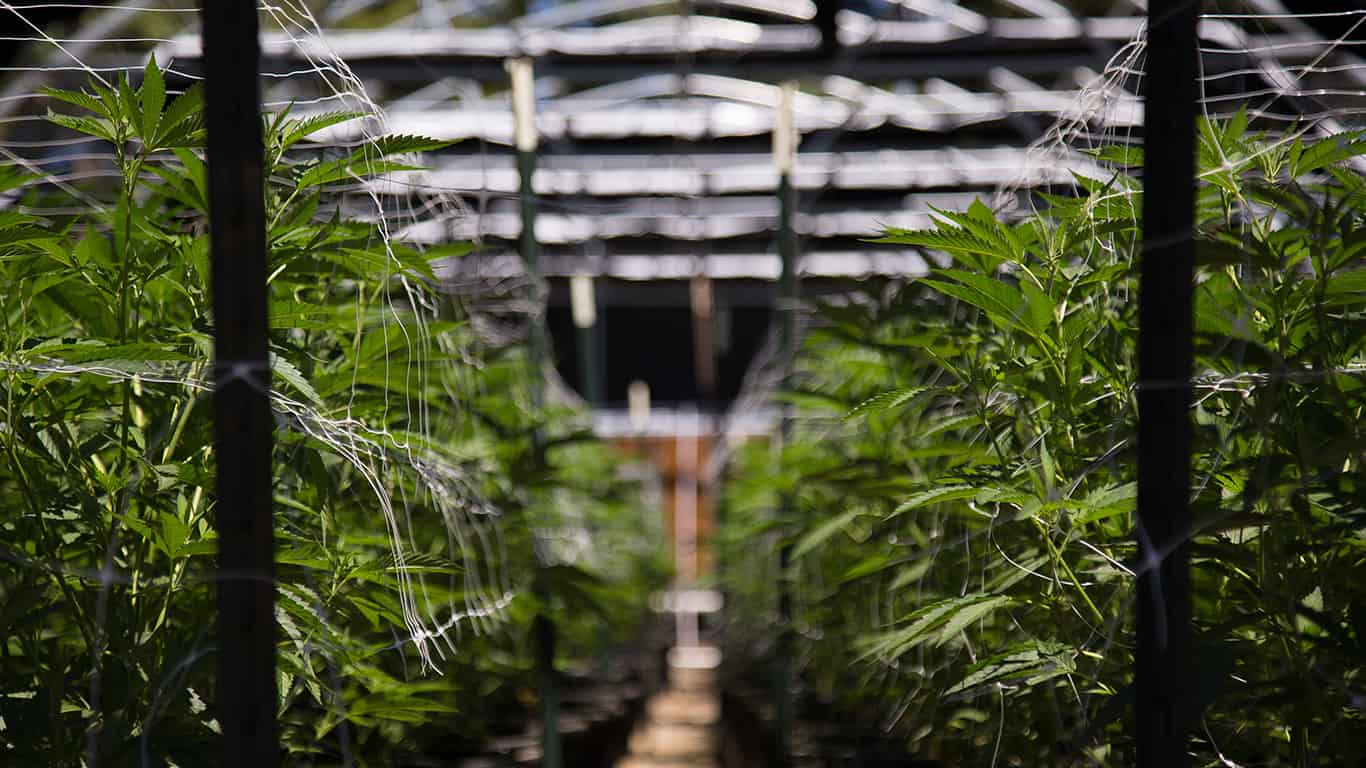 A close up of the marijuana farm industry
